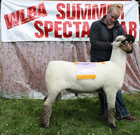 Reserve Supreme Breeding Sheep